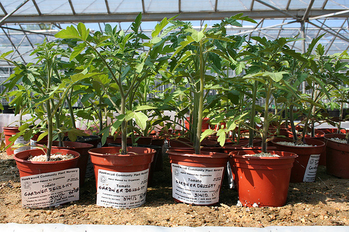 tomato-plants-in-the-glasshouse